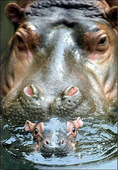 'Follow the Leader Mummy' - Baby Hippo in control of Mummy Hippo