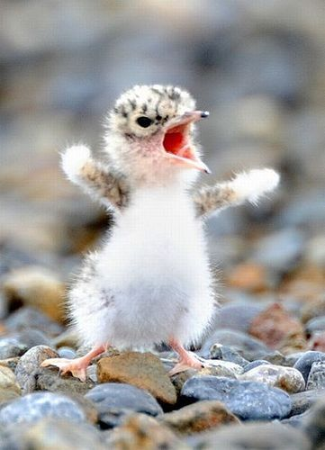 """Come at me, bro!"" teehee #cute #animal #baby #bird #nature #photo"