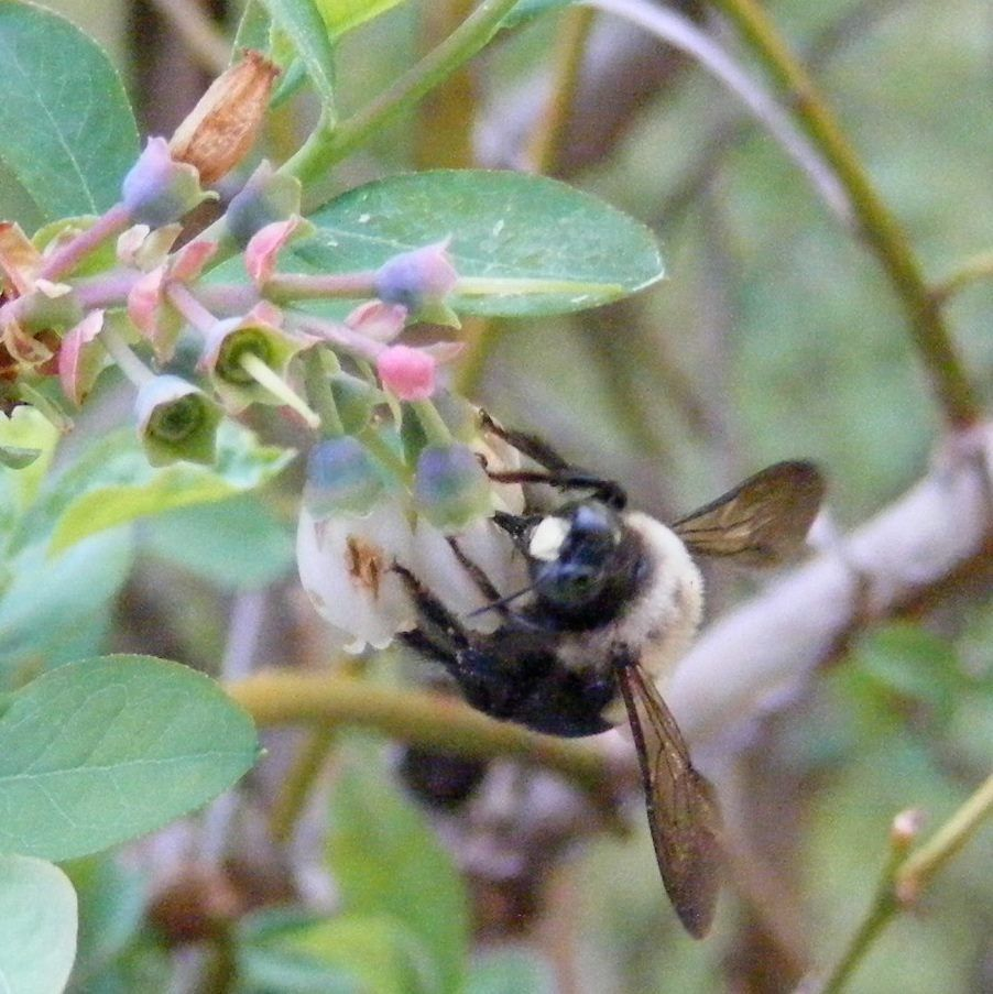 bee in my blueberries