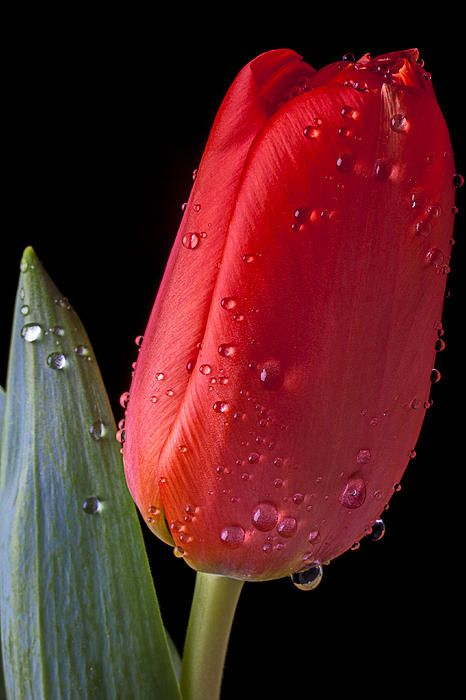 Red tulip with dew drops