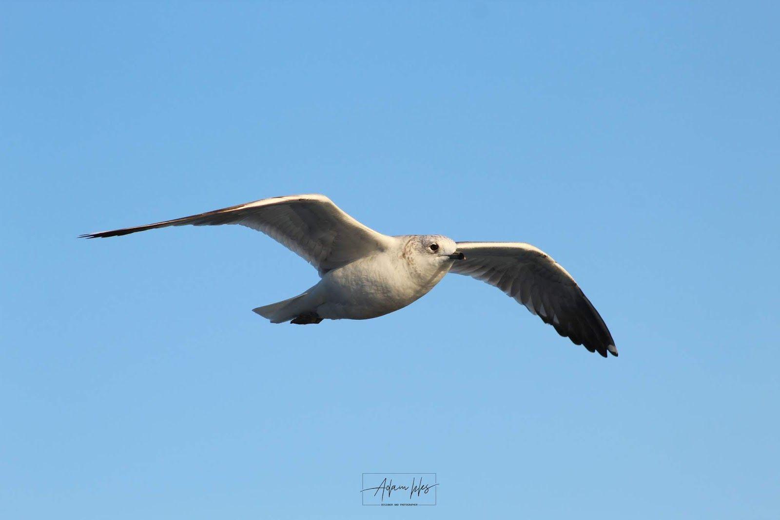 صور طيور النورس تحلق في السماء خلفيات طيور Birds Animals