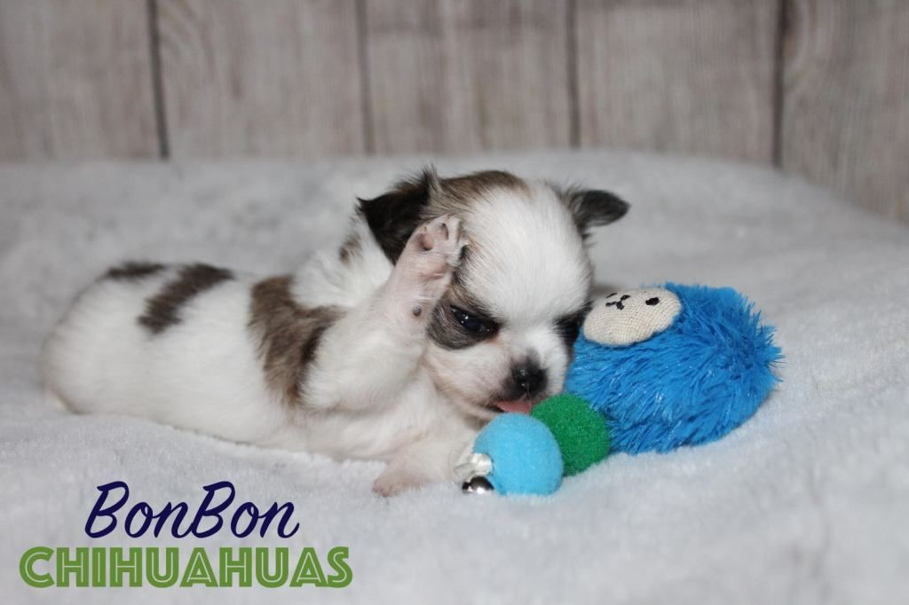 Chihuahua Puppies For Sale In 2020 Chihuahua Puppies Chihuahua Puppies For Sale Puppies