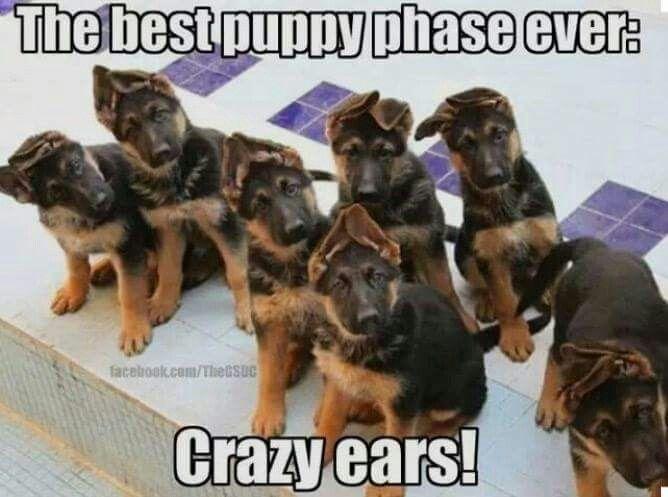 German Shepherd Puppy Bonnet Head Ears Phase German Shepherd