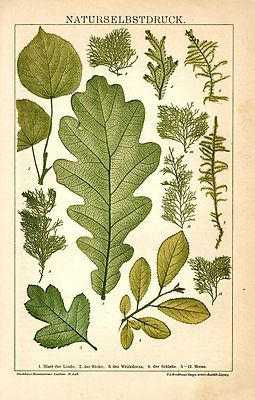 1894 LEAF LEAVES MOSS OAK Antique Chromolithograph Print Original Old German Color