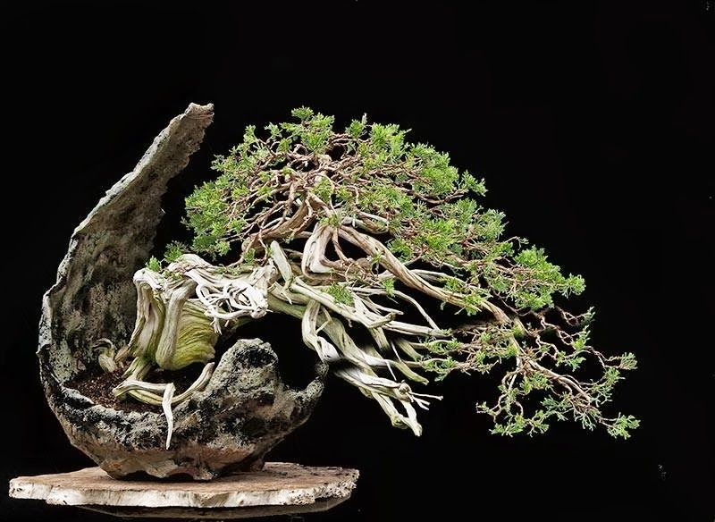Sabina juniper in new pot by William Vlaanderen. Simply stunning!   By: Walter Pall