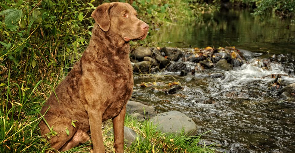 Chesapeake Bay Retriever Super Cooper Stud for puppies