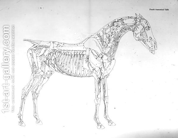Fourth Anatomical Table, from The Anatomy of the Horse   Anatomy ...