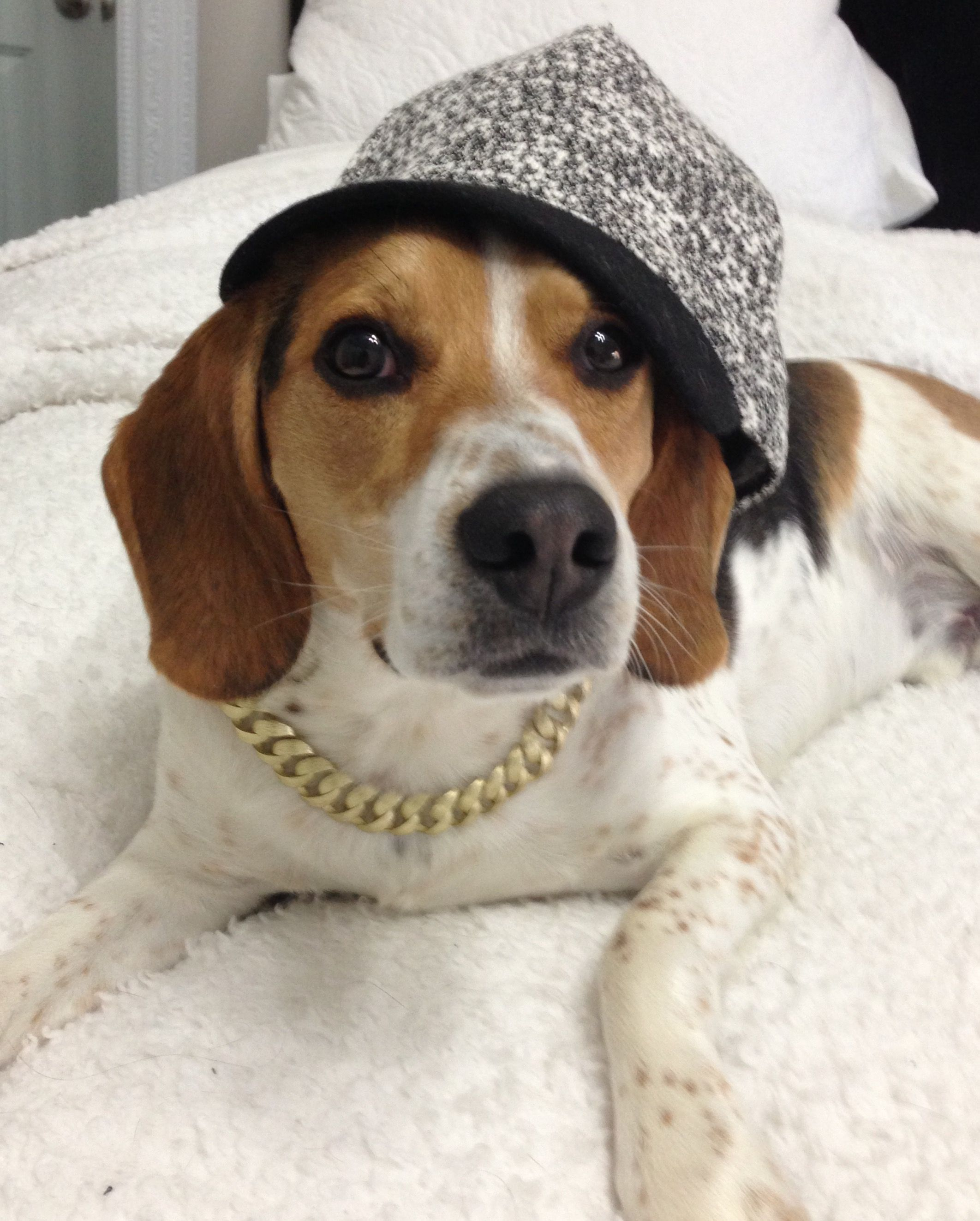 Gangster Beagle With Images Cute Beagles