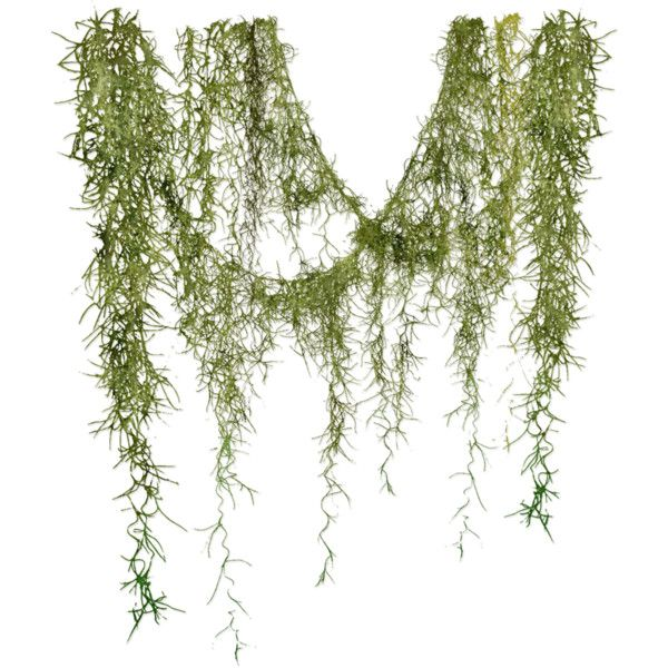 Angie S Spanish Moss Found On Polyvore Spanish Moss Tillandsia Moss