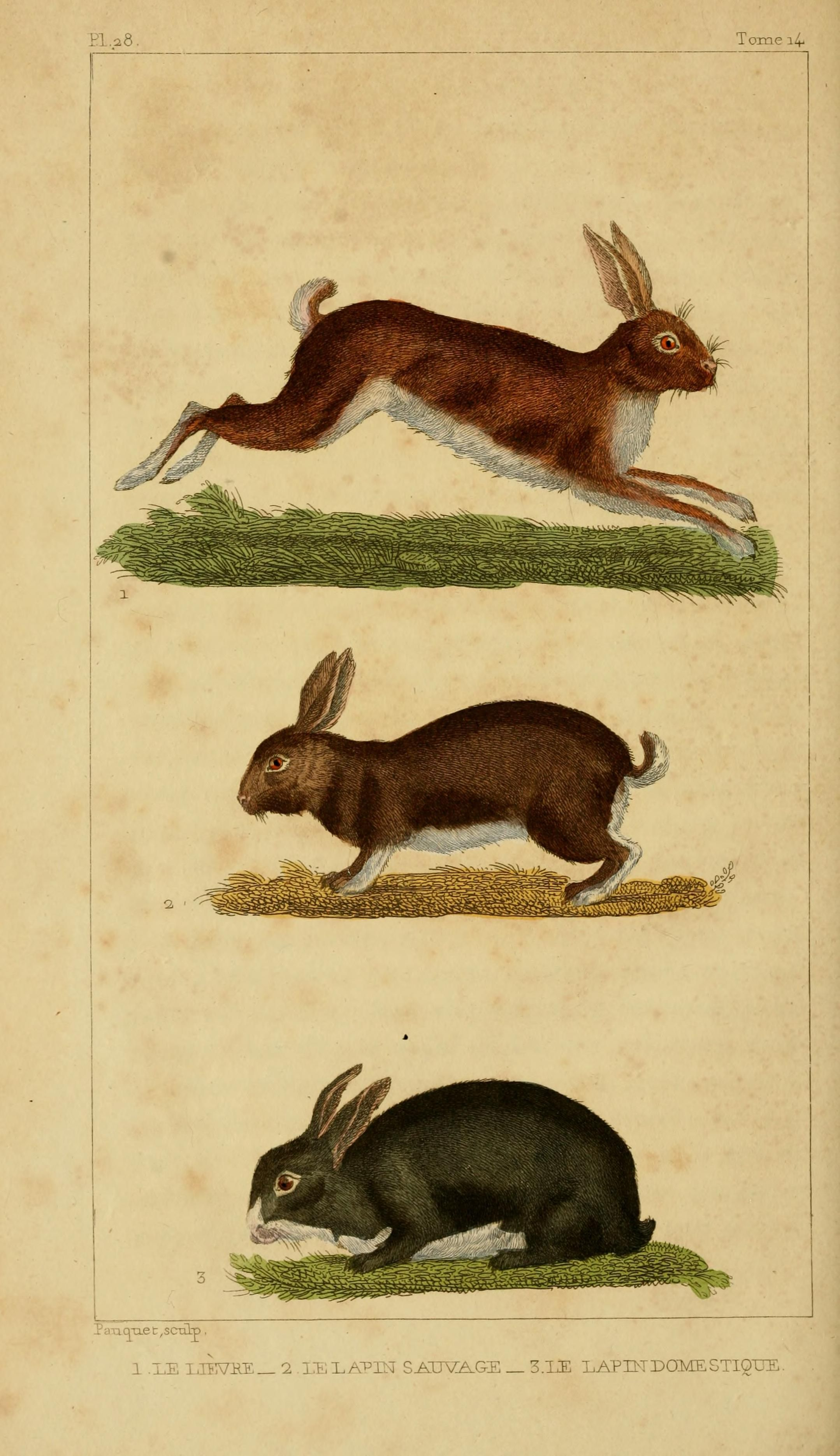 The Hare, the wild rabbit and the domestic rabbit. Le Lièvre & Le Lapin Sauvage & Le Lapin Domestique, (1830)