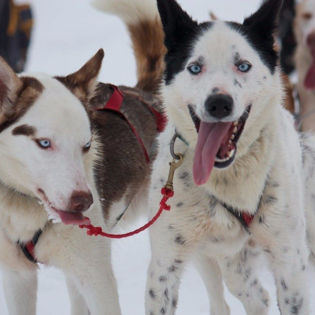 Fun Facts Siberian Huskies Shed A Lot Be Ready To Have Dog Hair