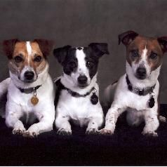 All About The Jack Rus Terrier