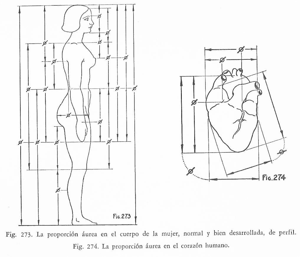 La proporción áurea del cuerpo en la mujer y el corazón humano ...