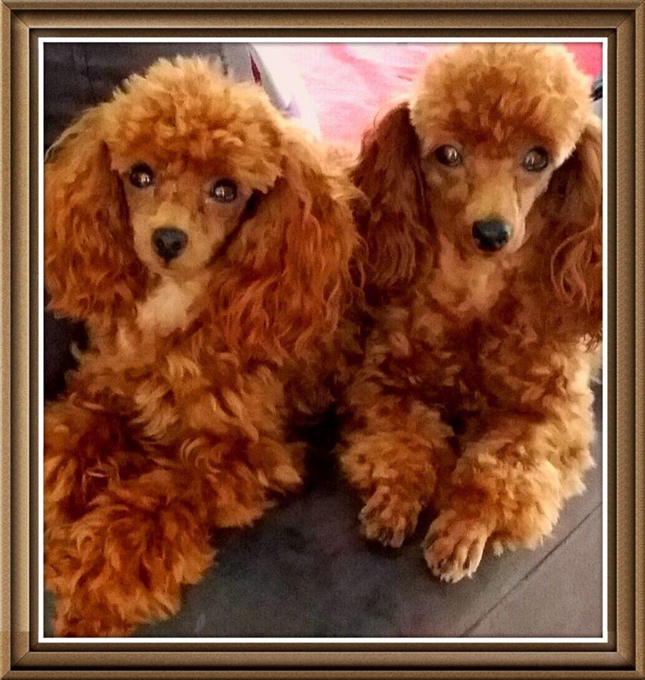 Teacup Ginger Poodles Toy Poodle Poodle Puppy Red Poodles