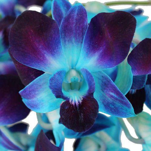 Orquidea Azul Turquesa Jardin Orquideas Flores Lindas