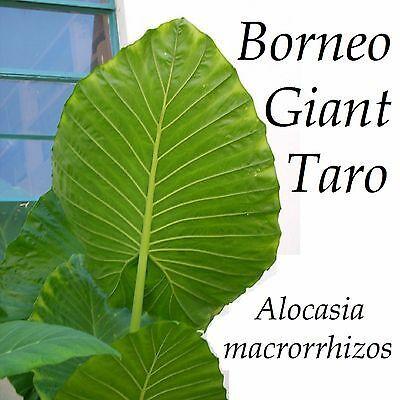 ~BORNEO GIANT~ TARO Alocasia macrorrhiza HUGE!! ELEPHANT EAR small potted Plant