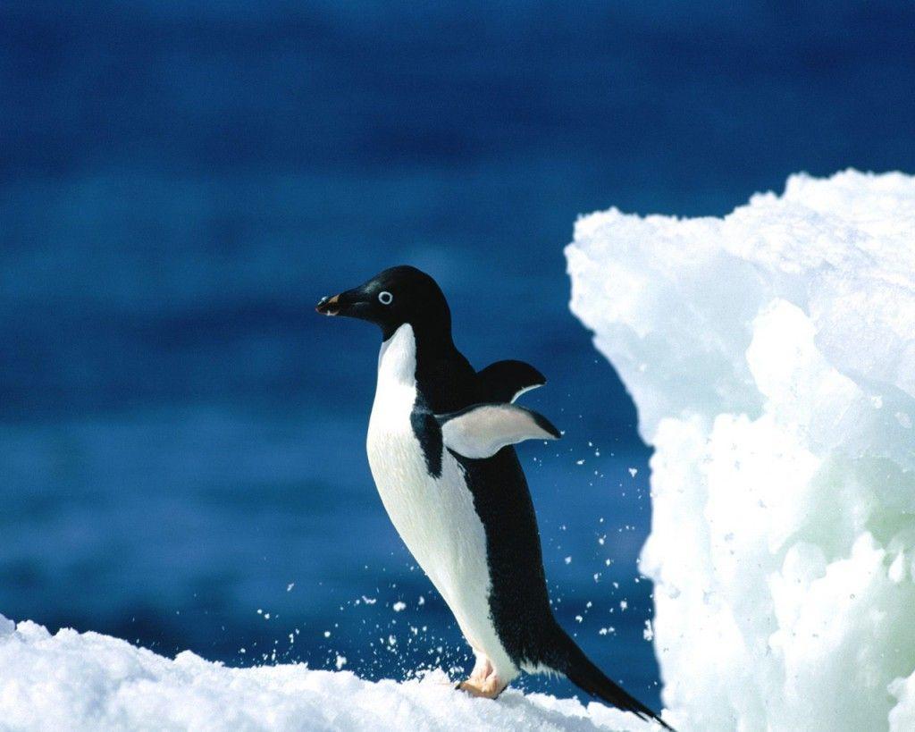 Cute Baby Penguin Jumping HD Wallpaper