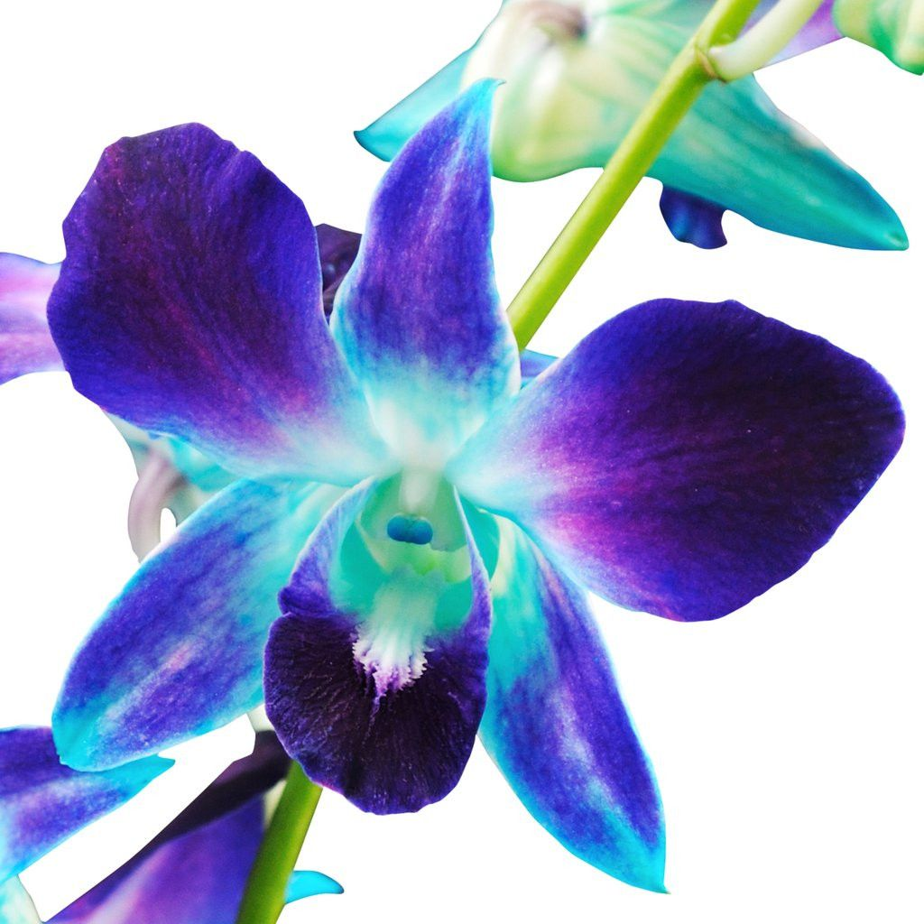 7 Unconventional Knowledge About Dendrobium Orchid Flower That You Can T Learn From Books D In 2020 Blue Flower Names Orchid Flower Blue Flower Wallpaper