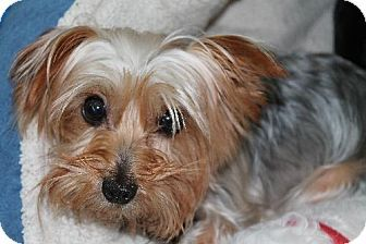 Pin By Heather Sander Wilson On Yorkie Rescue Yorkshire Terrier