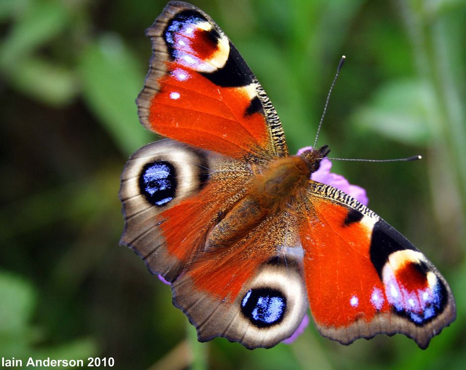 European Peacock (Inachis io), more commonly known simply as the Peacock butterfly