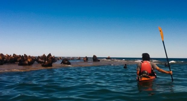 Kayaking with sea lions! We got to snorkel with them too!