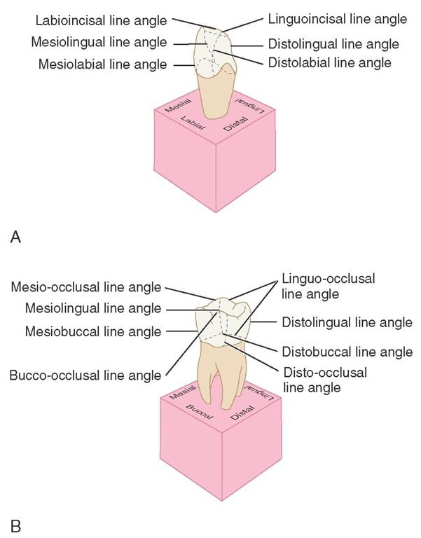 Line angles. A, Anterior teeth. B, Posterior teeth. | Dental Hygiene ...