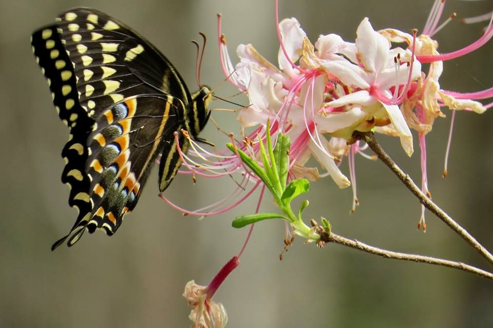 Image result for butterfly on honeysuckle