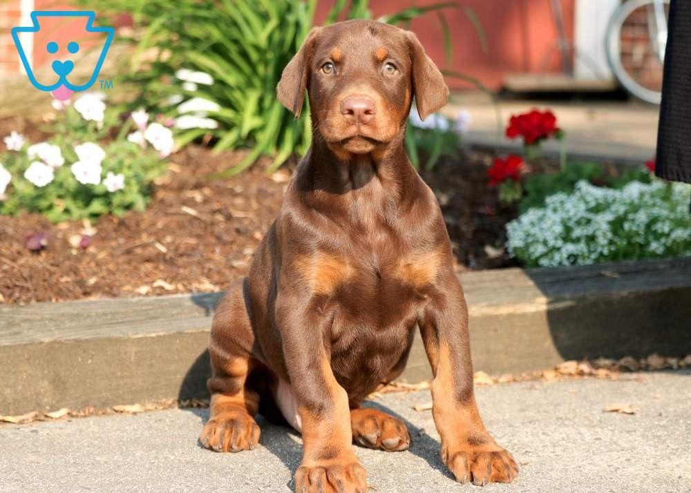 Major Doberman Pinscher Puppy Doberman Doberman Pinscher