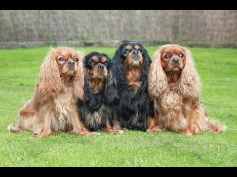 Teacup Yorkies And Cavalier King Charles Spaniel Puppies For S King Charles Cavalier Spaniel Puppy Cavalier King Spaniel Cavalier King Charles Spaniel Tricolor