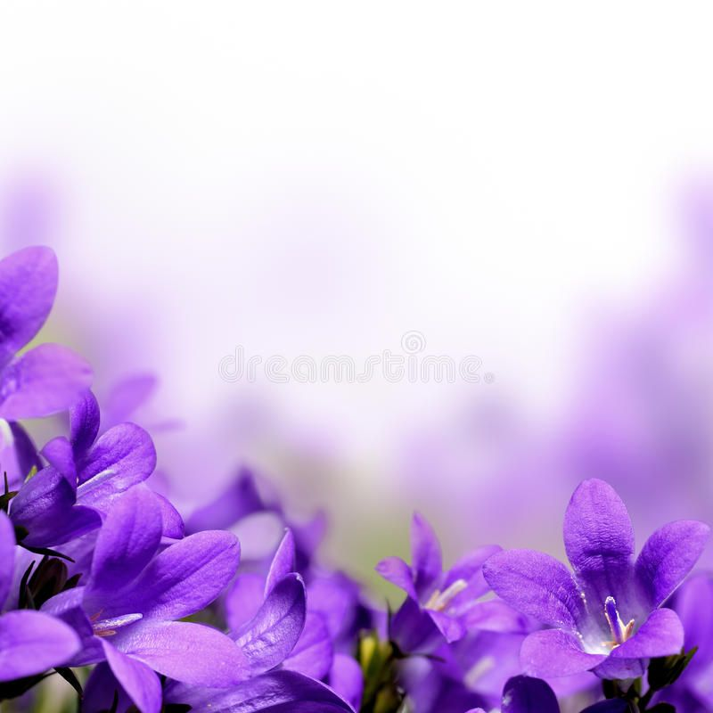 Campanula Spring Flowers Border Or Background Affiliate Spring Campanula Flowers Background Purple Spring Flowers Flower Border Plant Background