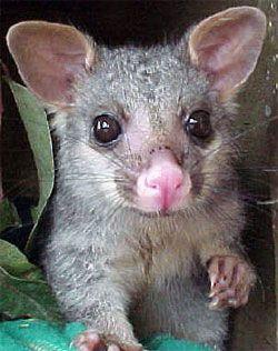 Brushtail Possum - a marsupial native to Australia ...