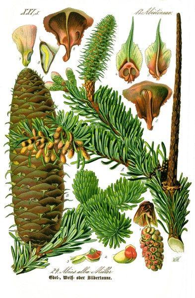 Tannen Nicht Nur Zu Weihnachten Nutzen Botanische Zeichnungen Vintage Botanische Drucke Illustration Blume