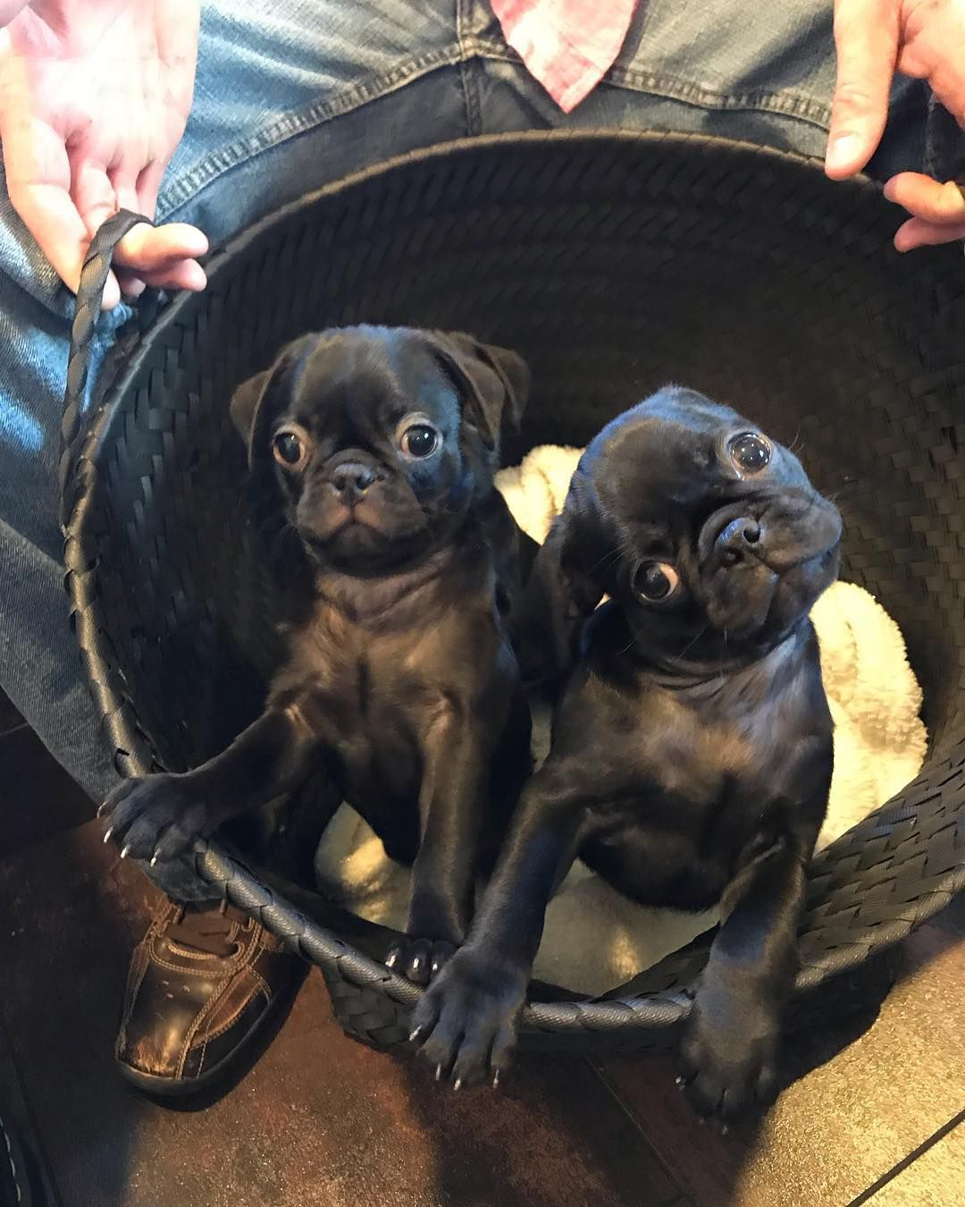 A Basket Of Pug Puppies To Brighten Your Monday Paws