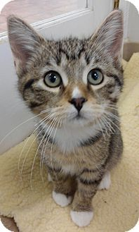 Cloquet Mn Domestic Shorthair Meet Jonah A Kitten For Adoption