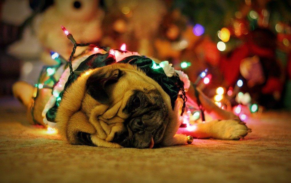 Pug Wallpaper Screensaver Background Christmas Pug Pugs Pug Dog Pug Wallpaper