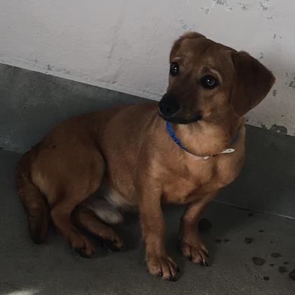Petango Com Meet Adrian 10m 13d Chihuahua Short Coat Mix