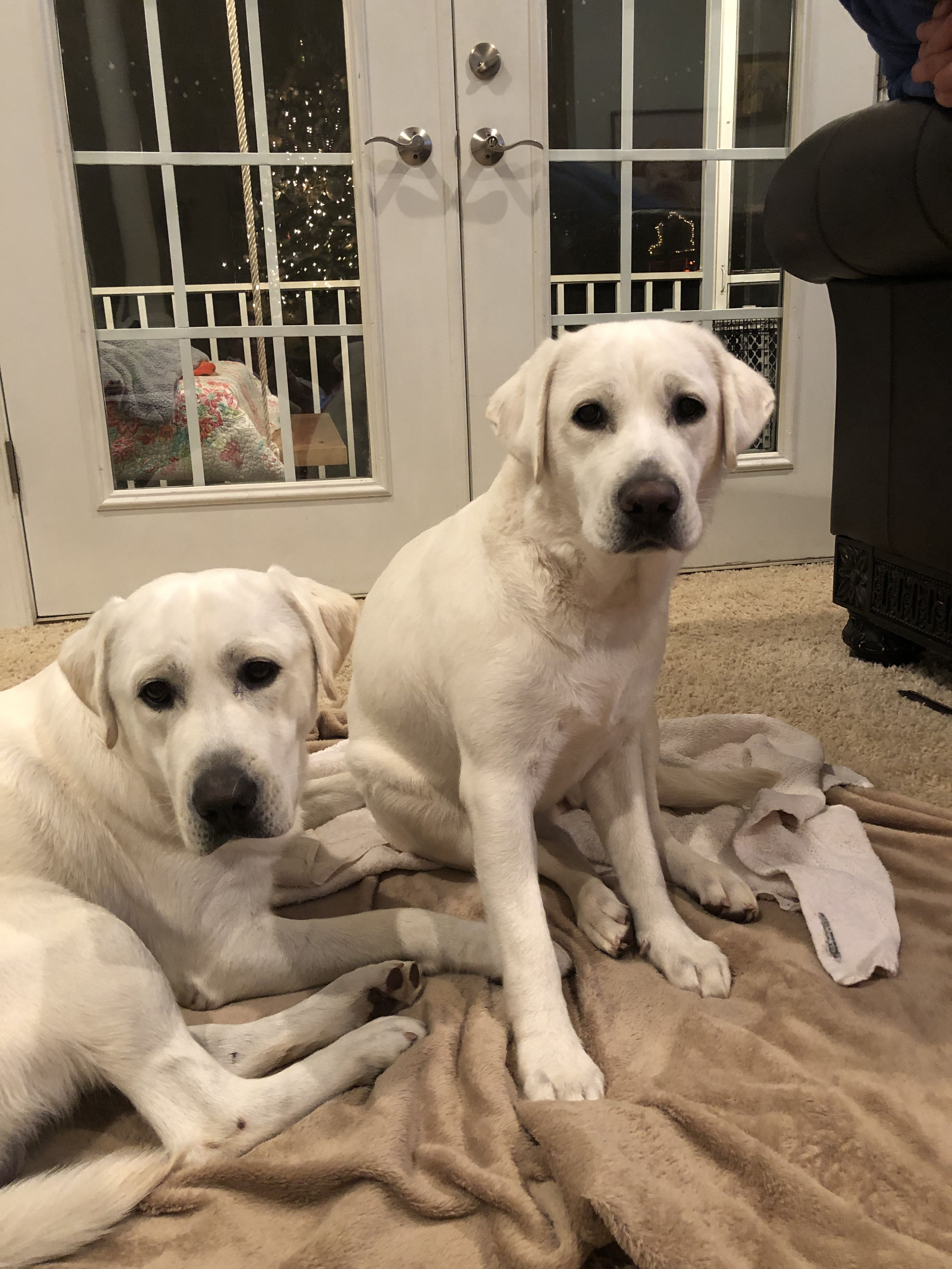 Mom And Dad Of White English Labs In 2020 Bear Puppy English Labrador Puppies