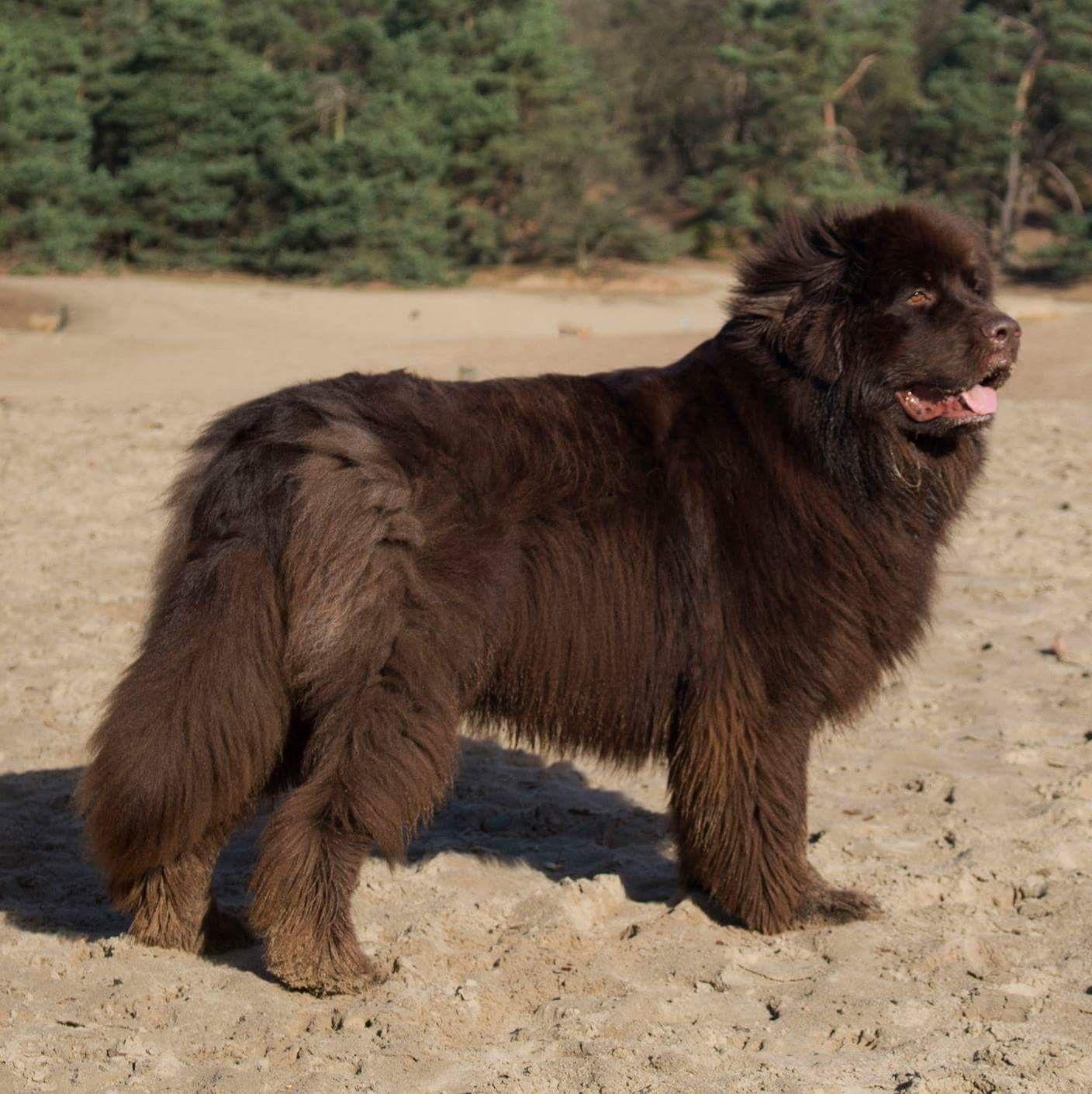 Pin by Sylvie Zbinden on Newfoundlander Dogs, Brown bear