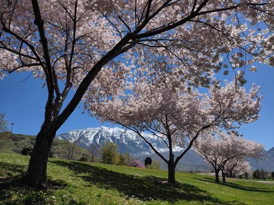 Orem Utah Tree Cherry Blossom Blossom