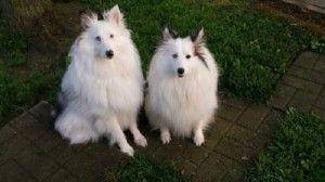 sheltie puppies cincinnati Sheltie puppy, Cute baby