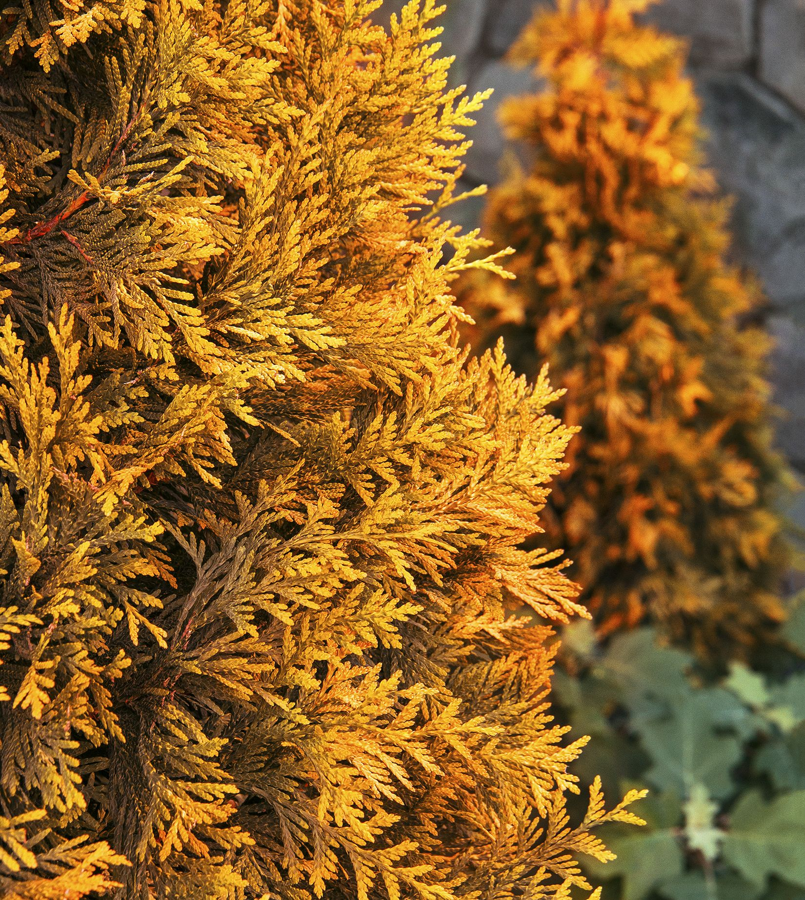 Ember Waves® Western Arborvitae is an exciting, new, colorful ...