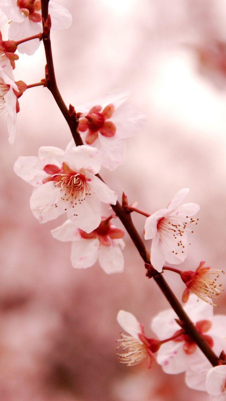 Cherry Blossom iPhone HD Wallpaper - PixelsTalk.Net