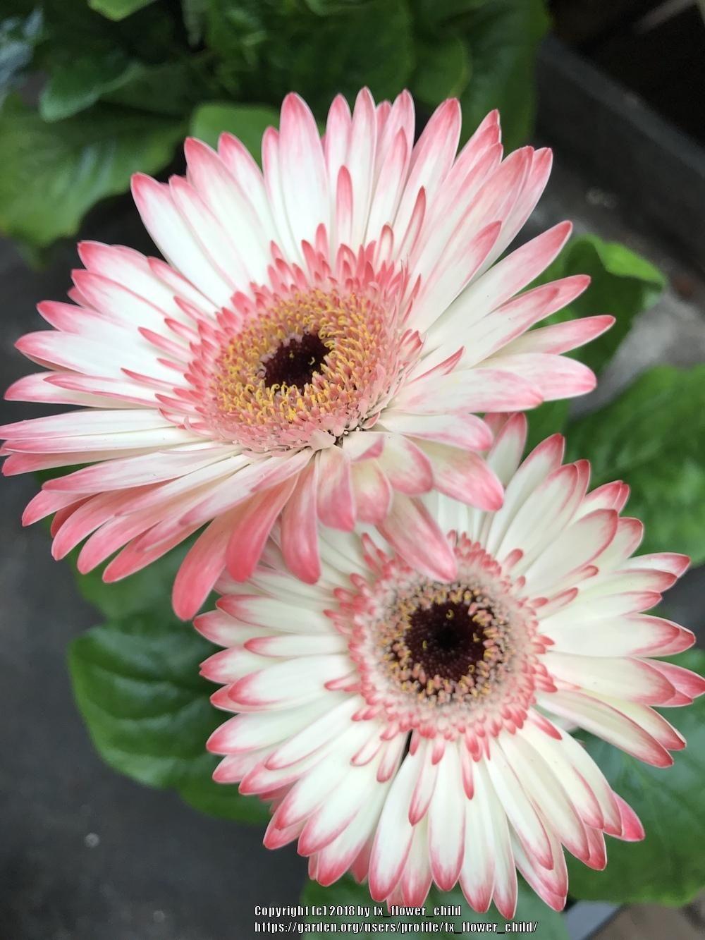 Gerberas Sun Rays On Stems Flower Seeds Gerbera Flower Gerbera Daisy Care
