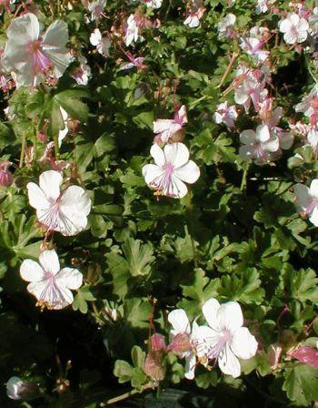 Geranium x cantabrigiense Biokovo -persistant.