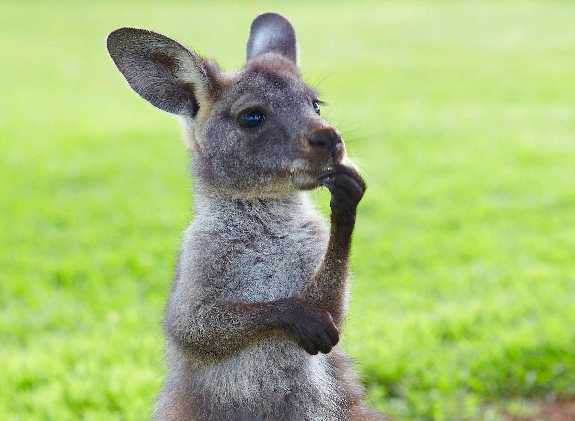 Thinking kangaroo Funny animals, Cute animals