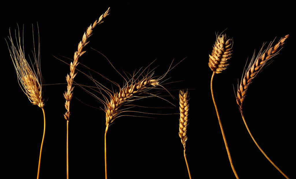 Industrial production destroyed both the taste and the nutritional value of wheat. One scientist believes he can undo the damage.