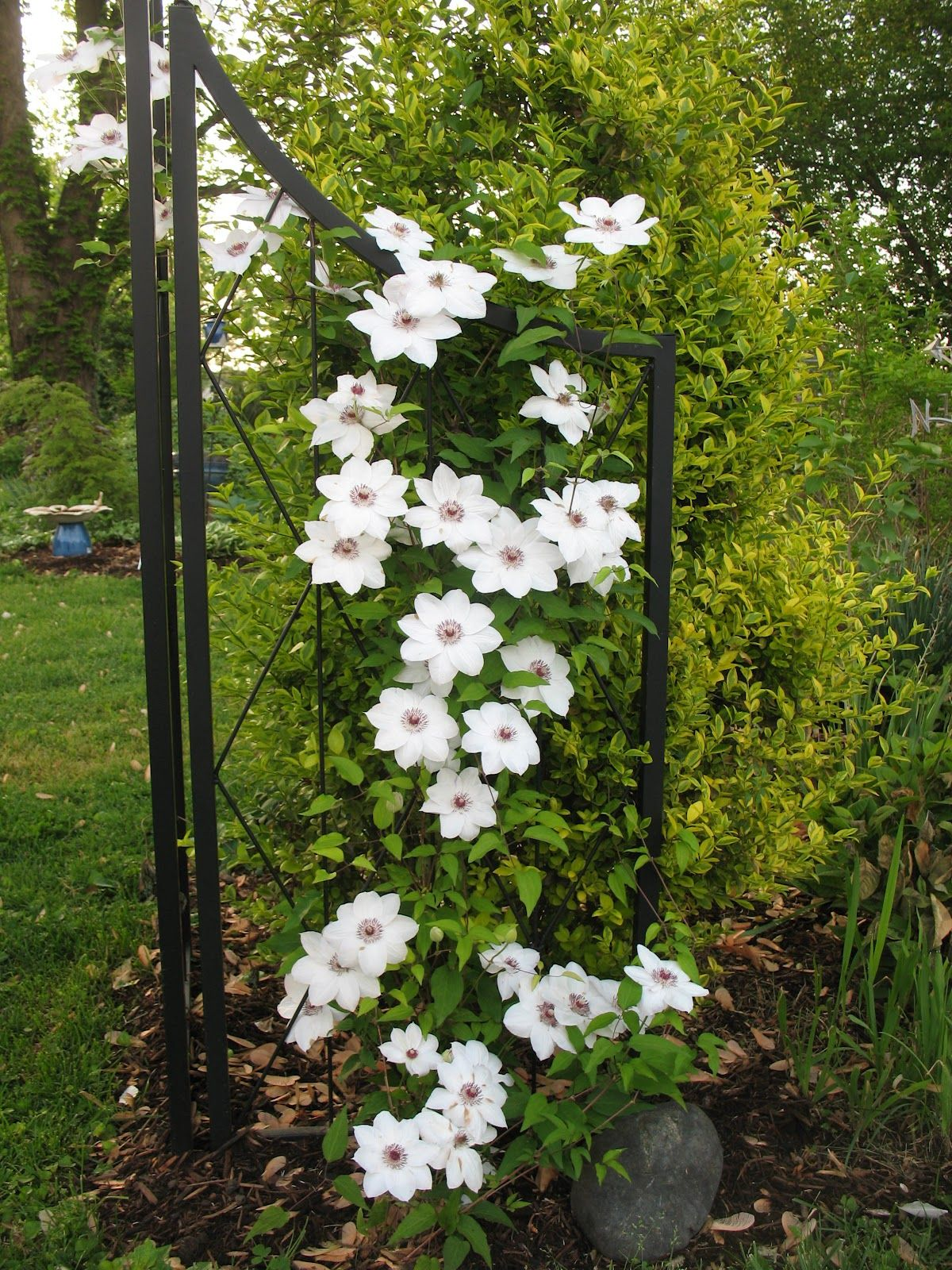 Clematis, Miss Bateman. 2-2.5m, suitable for a pot, sun to ...