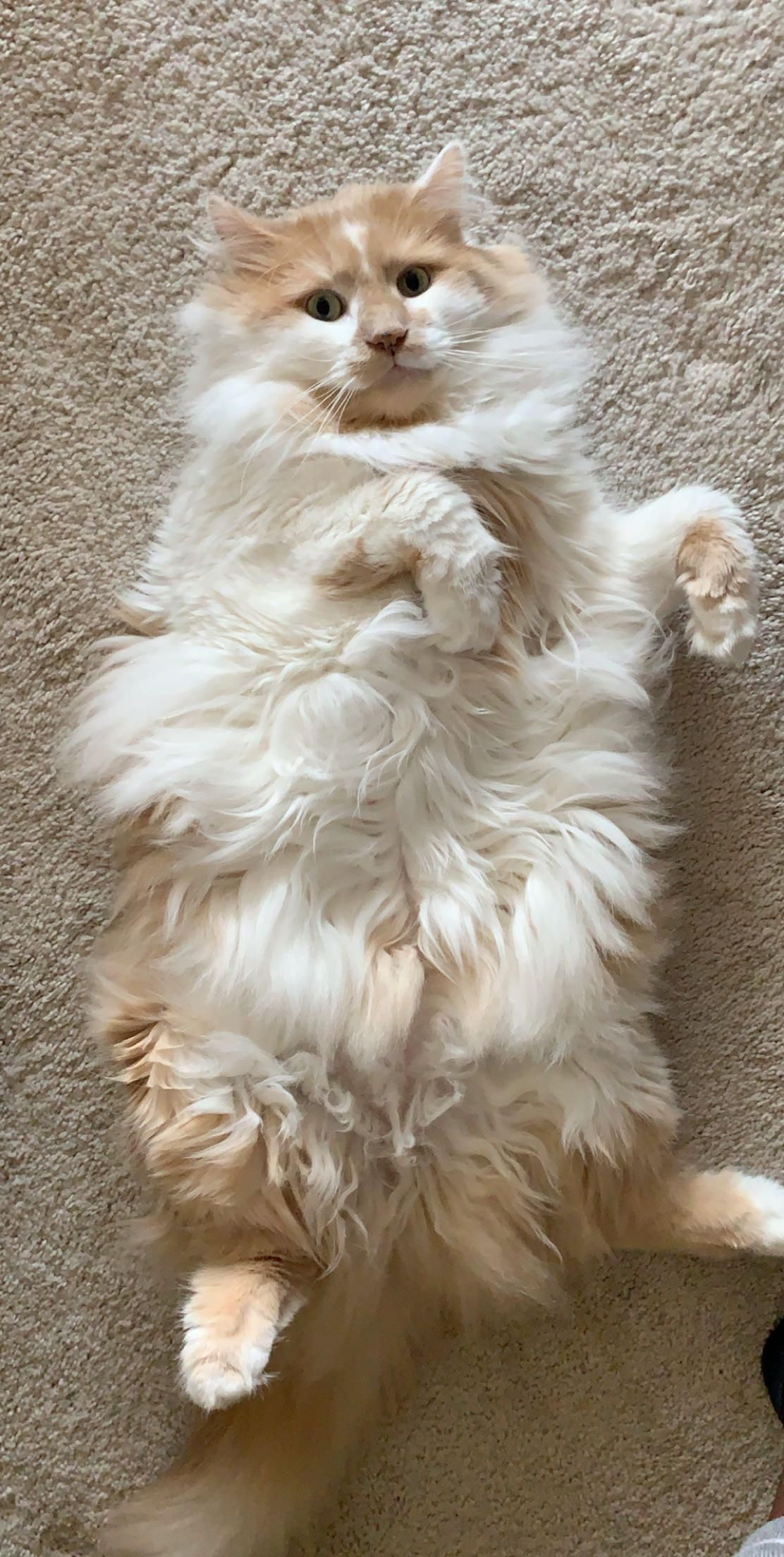 Beautiful Cat Showing Off Her Fluffy Belly Catbelly Curledpaws Catpaws Cutie Baby Cats Kittens Cutest Beautiful Cats