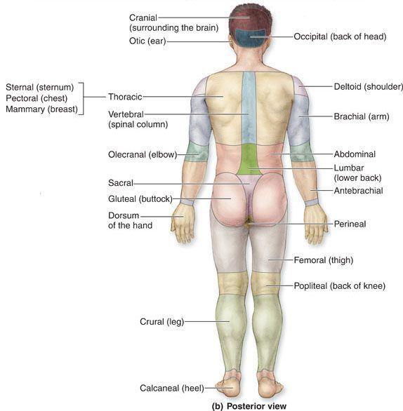 Surface Anatomy Landmarks Google Search Ap I Pinterest Anatomy