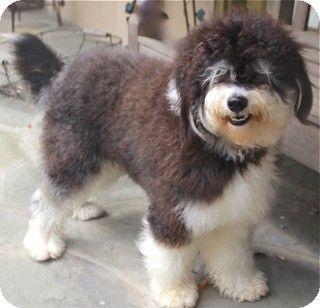 Portuguese Water Dog Poodle Mix Portuguese Water Dog Poodle